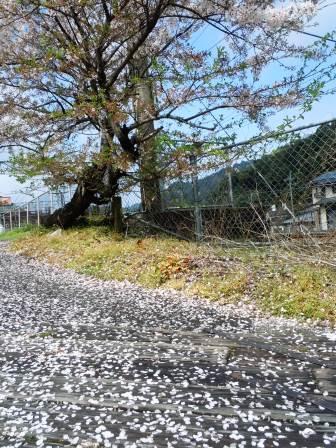 桜3(2015-04-05)