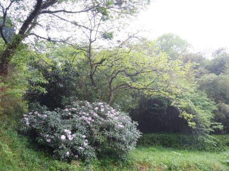 石楠花7(2017-04-20)