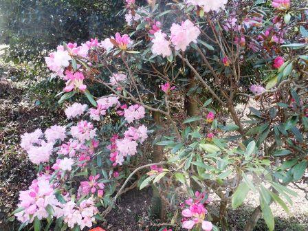 石楠花3(2015-04-18)