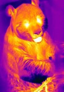 Thermography Ailuropoda melanoleuca