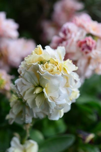 八重咲きストックベイビーの寄せ植え20150124
