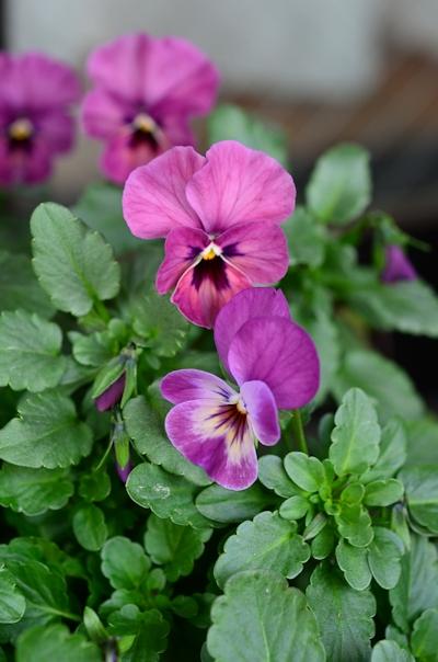 紫系のビオラの寄せ植え20150125_02