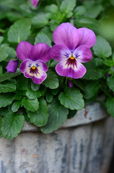 紫系のビオラの寄せ植え20150125