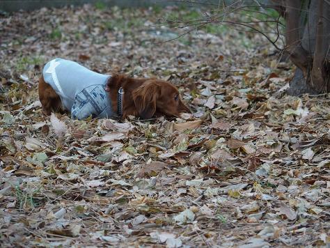 枯れ葉の中を、歩伏前進でしゅ