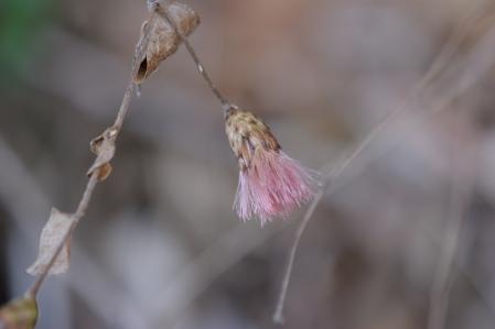 コウヤボウキ(ピンク色の綿毛)