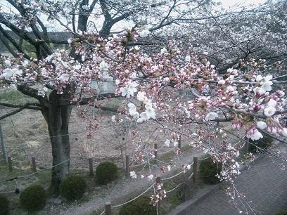 河畔公園桜