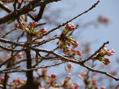 大沢付近桜