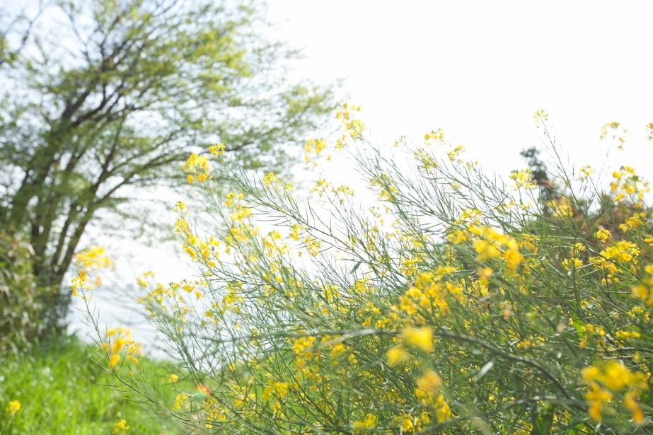 you and I 5D markⅡ EF16-35mm F2.8L II USM 春の写真 黄色 花
