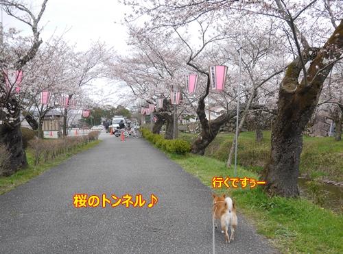 1桜のトンネル