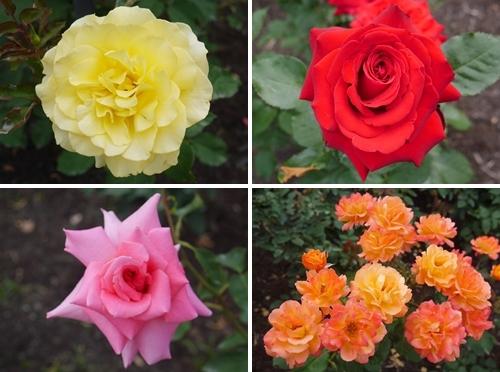 5キレイなバラ