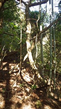 サカキカズラの巨木