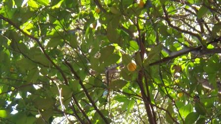 タチバナの木