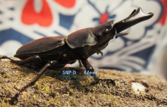 SNP-D♂2