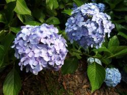 ぶどう紫陽花②
