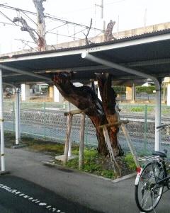 トタン屋根割桜01