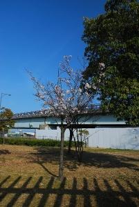 みずとりの浜公園の桜