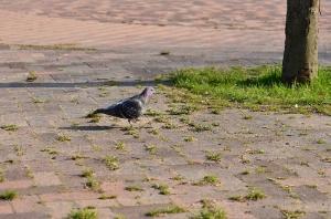 みずとりの浜公園の鳩