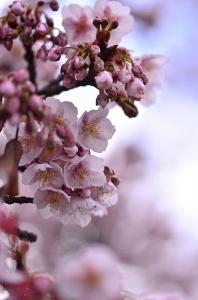 海田市駅の緋寒桜