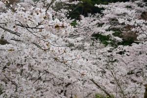 あせび歩道の桜