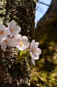 誓真和尚大徳碑前の桜