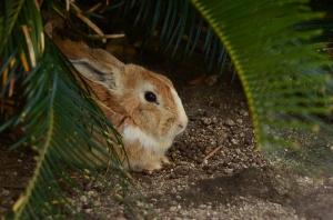 ねぐら(?)に戻ったウサギ