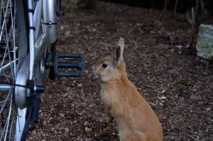 自転車の傍で待っているウサギ