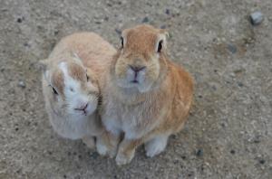 餌をねだるウサギ