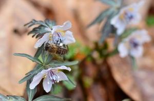ミツバチとセツブンソウ