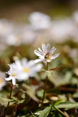ミツバチとユキワリイチゲ