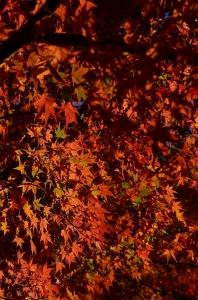 紅葉のアップ