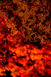 ライトアップされた紅葉のアップ