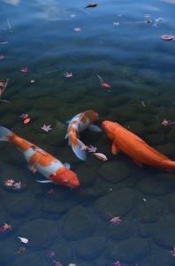 濯纓池の鯉