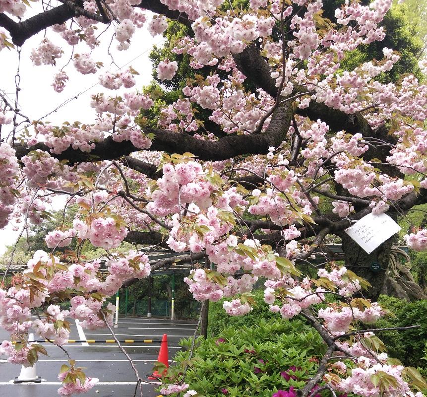 ①精養軒の桜1