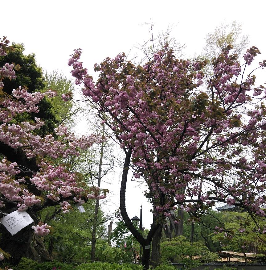 ②精養軒の桜2