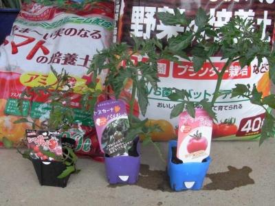 2015トマト植えつけ01