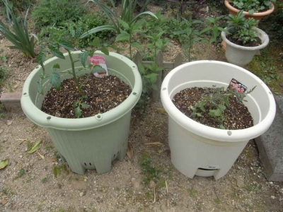 2015トマト植えつけ02