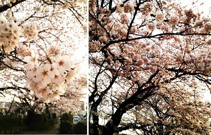 帰宅途中の桜