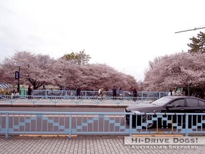 150404sakura2.jpg