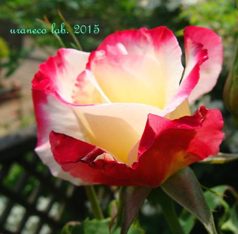 6月23日薔薇7