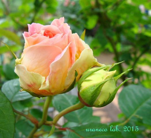 6月23日薔薇6