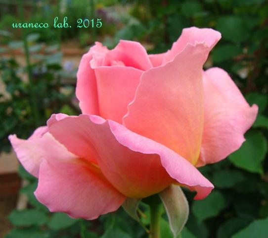 6月23日薔薇2