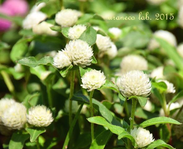7月2日千日紅白花