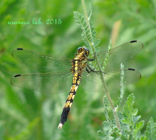 7月10日蜻蛉