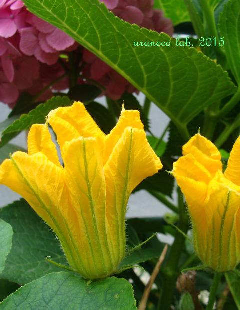 7月10日南瓜の花