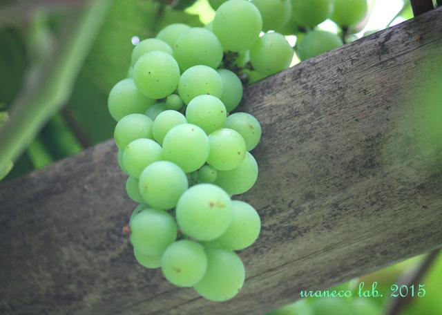 7月15日翡翠色の葡萄