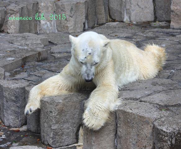 7月15日夏バテ白熊3
