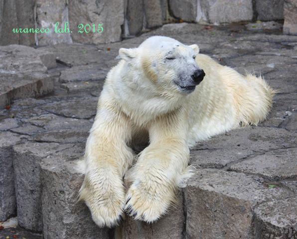 7月15日夏バテ白熊2
