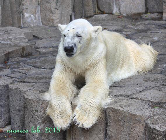7月15日夏バテ白熊