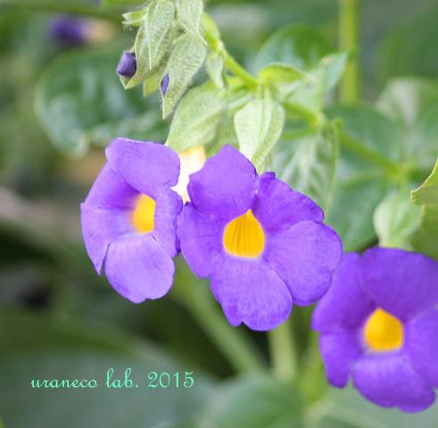 7月15日熱帯花2