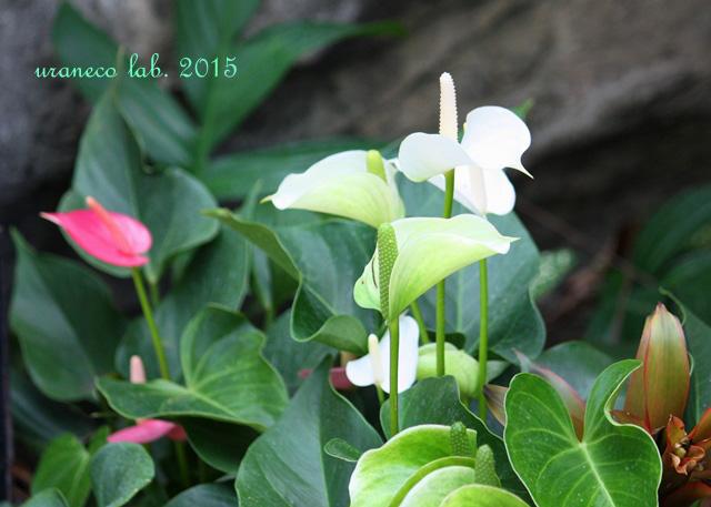 7月15日熱帯花